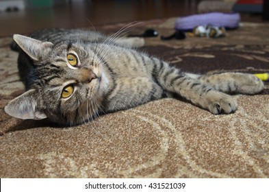Gray tabby cat laying on carpet