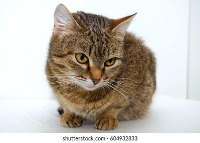 Gray tabby cat on a light background.