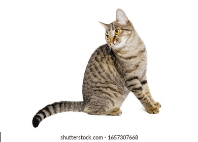 Gray tabby cat sitting on a white isolated background and posing for the camera