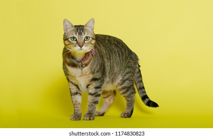 Gray tabby cat in studio on yellow background