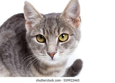 gray tabby kitten - isolated on white background