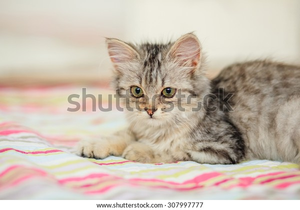 Gray tabby kitten playing with thread