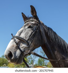 A gray tamed horse with dark eyes against blue sky