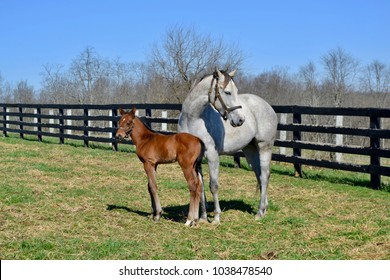 Gray Thoroughbred mare and bay foal stand in a green paddock with a black fence in the background.