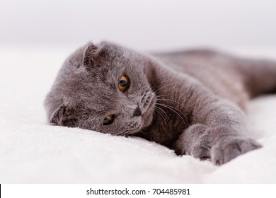 Gray thoroughbred thoroughbred Scottish lop-eared cat