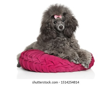 Gray Toy poodle resting on pillow. Portrait on white background. Animal themes