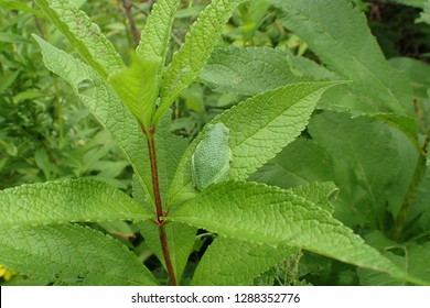 Gray Tree Frog sitting on leaf of Joe Pye Weed