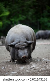 gray Vietnamese pot-bellied pig isolated