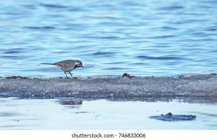 gray wagtail on the shore of the lake