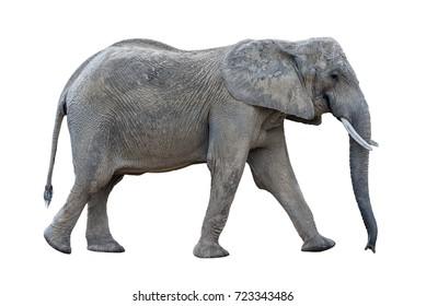 gray walking african elephant loxondota isolated on white background