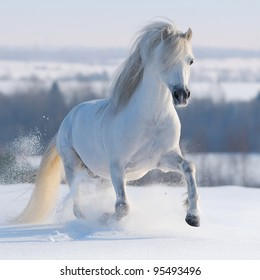 Gray Welsh pony galloping on snow hill.
