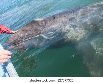 A gray whale approaches a boat to be touched in a sanctuary lagoon in Baja Mexico