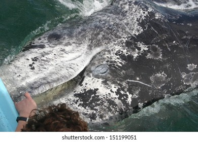 A gray whale approaches a boat in a Mexican lagoon to have its baleen petted