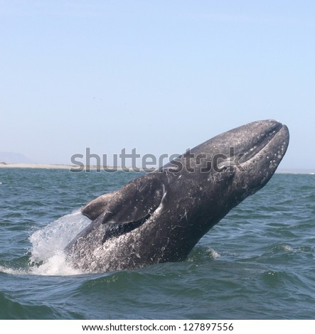 A gray whale breaches for fun in a sanctuary lagoon in Baja, Mexico