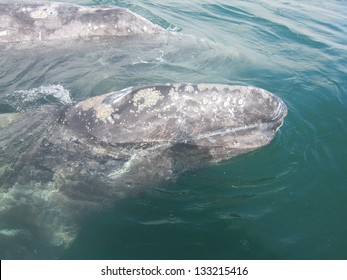 A gray whale calf  swims beside it mother in a sanctuary lagoon in Baja, Mexico