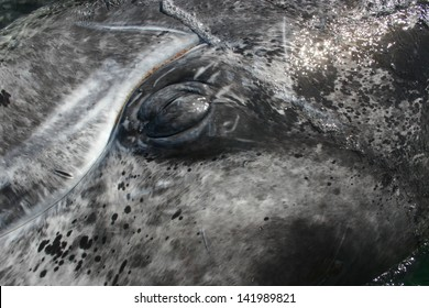 a gray whale closes its eye directly under a boat in Mexico