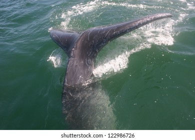 A gray whale dives at the last second after approaching a boat in a Mexican lagoon in Baja