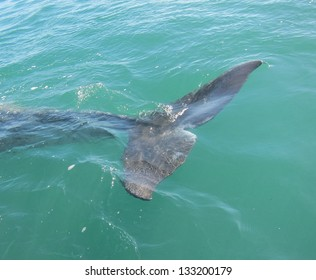 A gray whale logging on the surface of a sanctuary lagoon in Baja MExico gives a good view of its tail  flukes