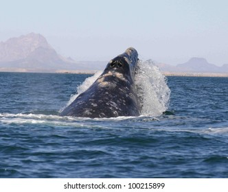 a Gray Whale makes an emergency surface in a sanctuary lagoon in Baja, Mexico