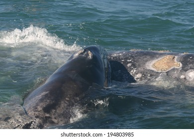 A gray whale mother nuzzles her calf in a lagoon in Baja Mexico