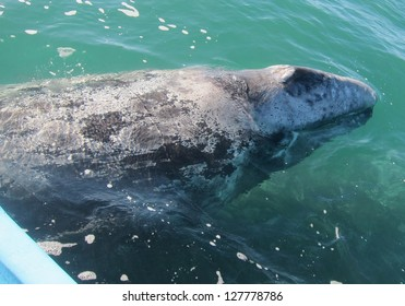 A gray whale passes under a panga boat in a sanctuary lagoon in Baja Mexico