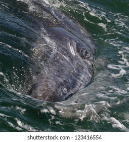 A gray whale rolls on its side to look at a boat in the nursery lagoon of San Ignacio in Baja, Mexico