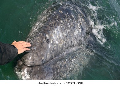 In a gray whale sanctuary in Baja, Mexico, a Gray Whale comes to a boat to be petted