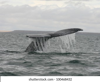 In the Gray Whale sanctuary of San Ignacio lagoon in Baja Mexico, a  Whale brings up its flukes for a dive.