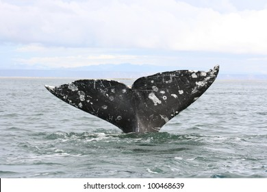In the Gray Whale sanctuary of San Ignacio lagoon in Baja Mexico, a Gray Whale brings up its flukes during a  dive.