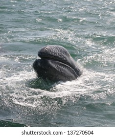 Gray whale showing its baleen in a lagoon in Baja Mexico