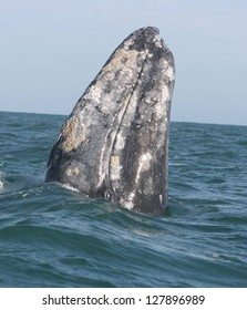 A gray whale spyhops to take a look around in a sanctuary lagoon in Baja Mexico