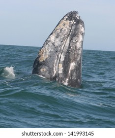 a gray whale stands on it is tail to spyhop in a Mexican lagoon