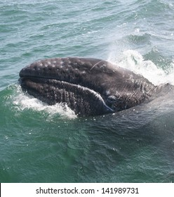a gray whale surfaces for a look around in a Mexican lagoon