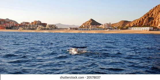 Gray whale tail in Cabo San Lucas