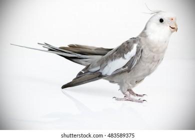 gray and white bird Calopsita