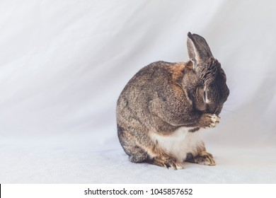 Gray and white bunny rabbit against soft background cleans face, appears to pray, room for text