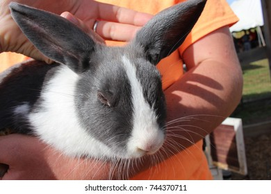 Gray and white bunny rabbit being held by a person and petting