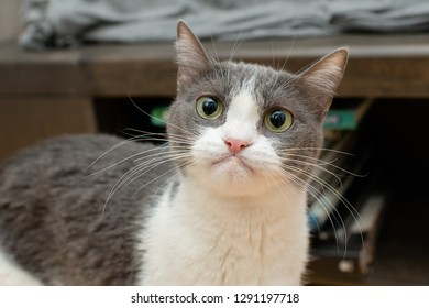Gray and White Cat Making Funny Face