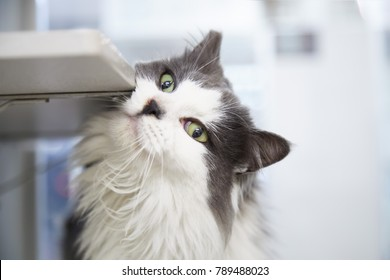 Gray and white domestic long hair cat with green eyes rubbing his cheek against a shelf