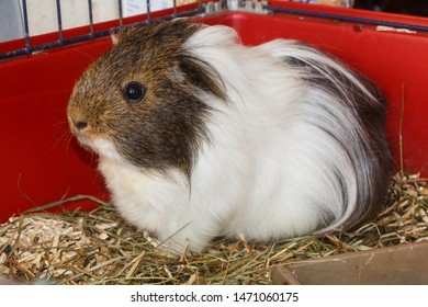 Gray and white guinea pig in a cage