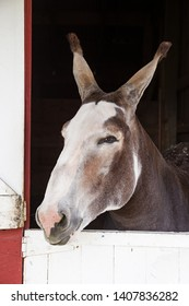 gray and white mule sticking its head out of a barn doorway