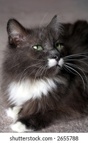 Gray and white pedigree Maine Coon cat with green eyes; selective focus