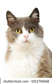 Gray white petted cat isolated on white