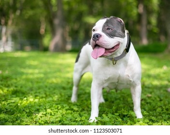 A gray and white Pit Bull type mixed breed dog whose ears have been almost completely cut off