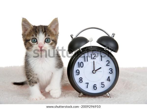 gray-white-polydactyl-kitten-sitting-600