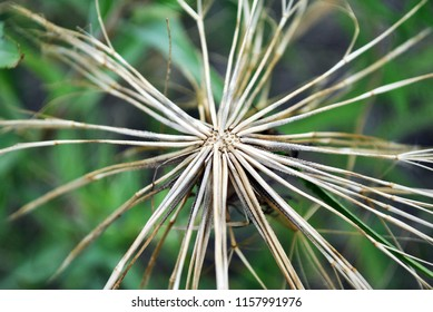 Gray withered tragopogon dubius (yellow, western salsify, wild  or yellow goat's beard, goat's beard, goatsbeard, common salsify) flowerwith dry seeds, blurry grass background, top view