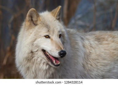 Gray wolf (all-white Canadian gray wolf) in winter