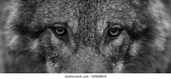 White Black Wolf Images Stock Photos Vectors Shutterstock