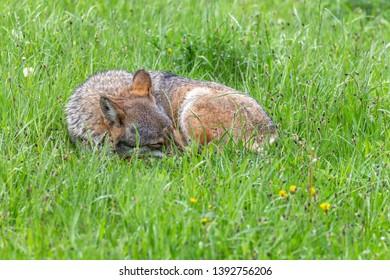 Gray wolf canis lupus - Centro faunistico Uomini e Lupi - Entracque Maritime Alps park - captive animals
