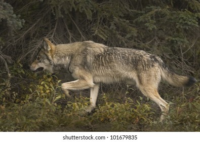 Gray wolf (Canis lupus) hunts in the Taiga forest near the Teklanika River. Denali National Park; Alaska.